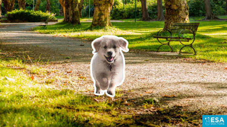 Emotional support puppy running.