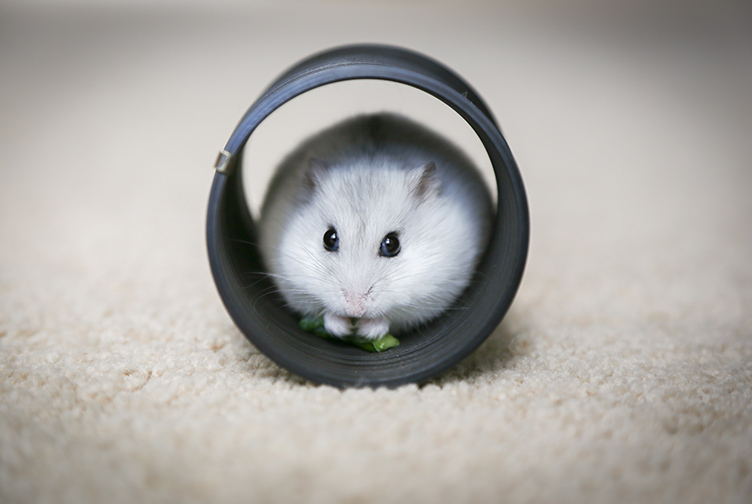 Hamsters are cute and portable and make great emotional support animals.