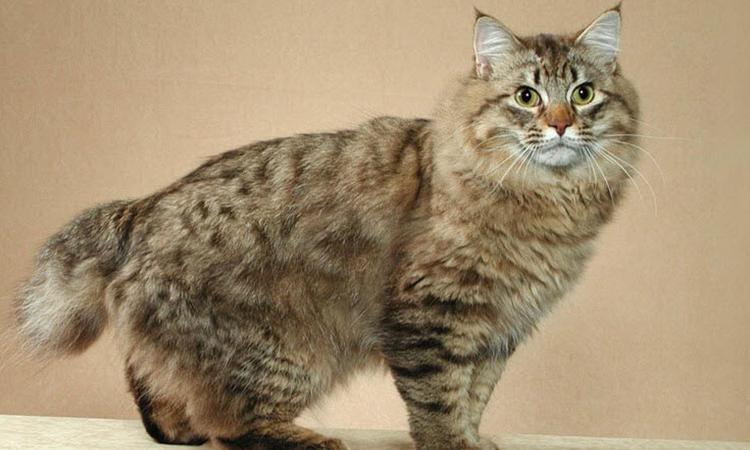 ESA Cat American Bobtail